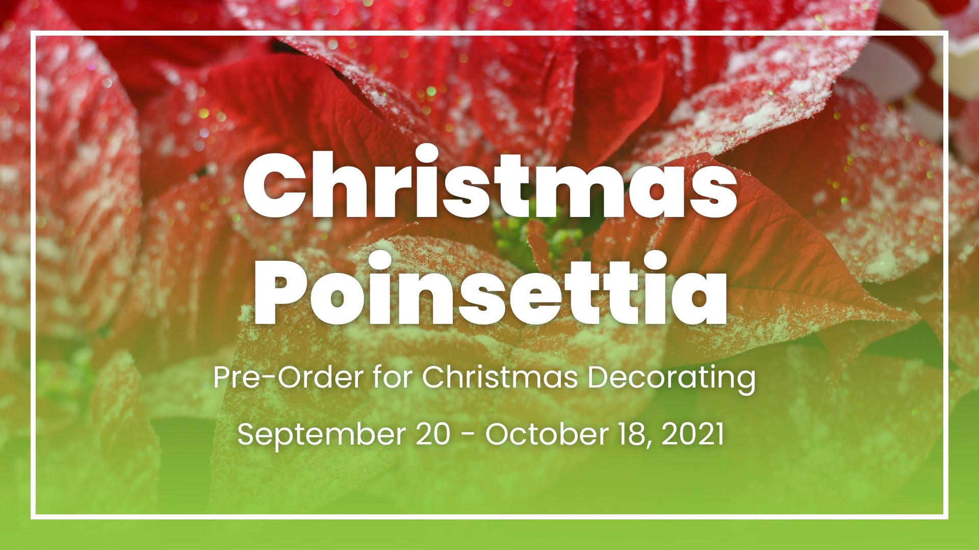 Christmas Ponsettia